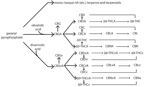 Figure 14: synthesis pathways of terpenes and cannabinoids in hemp.